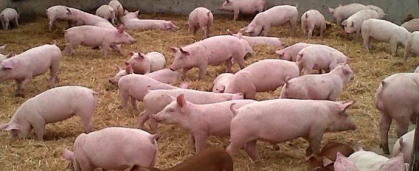 El Ayuntamiento de Campo de Cuéllar organiza las Jornadas Técnicas del Porcino