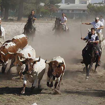 Encierro de bueyes por El Pilar