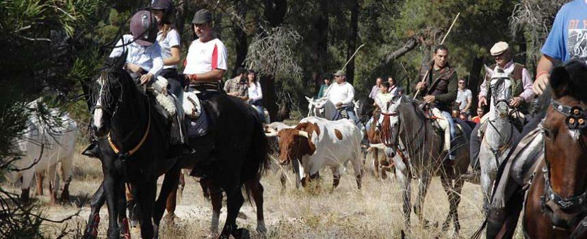 Amigos del Caballo celebró su tradicional suelta de bueyes desde los corrales del Cega