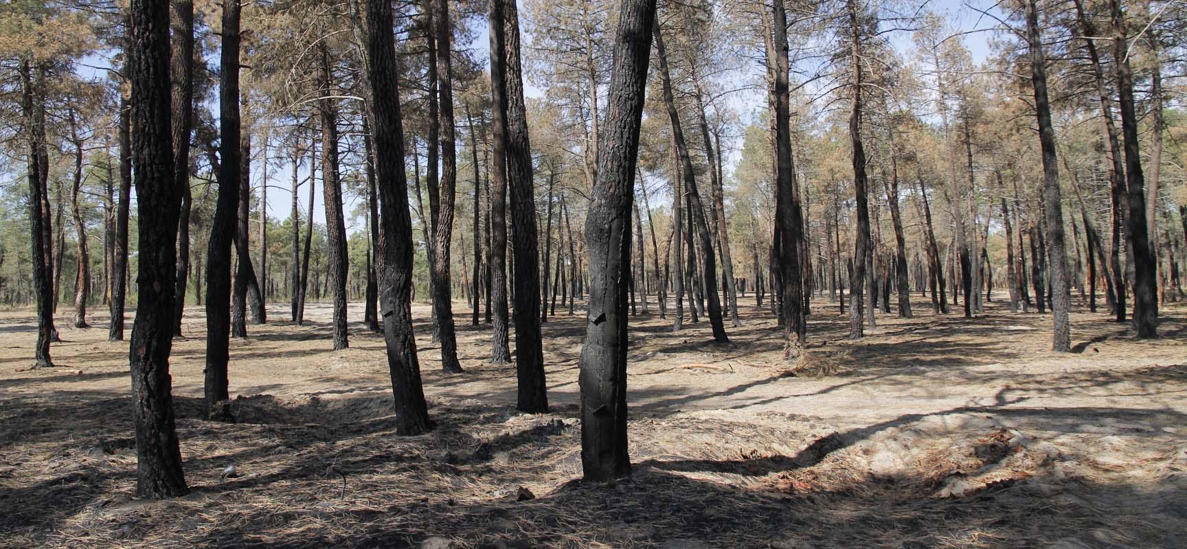 Pinar tras el incendio sufrido en junio de 2013.