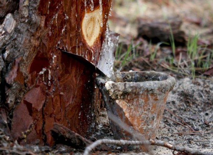 El PSOE de Segovia exige a la Junta medidas ante la bajada de precios de la resina