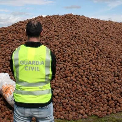 La Guardia Civil localiza en Villaverde de Íscar 190.000 kilos de piñas presuntamente sustraídas