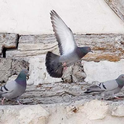 El Ayuntamiento pone en marcha la primera fase de las medidas de control de palomas