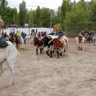 Amigos del Caballo festeja El Pilar con su tradicional encierro de bueyes