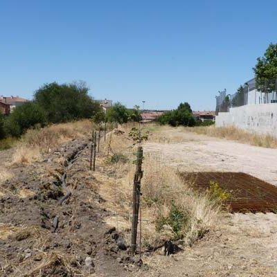 La Diputación pone a disposición de los ayuntamientos 250 olmos resistentes a la grafiosis