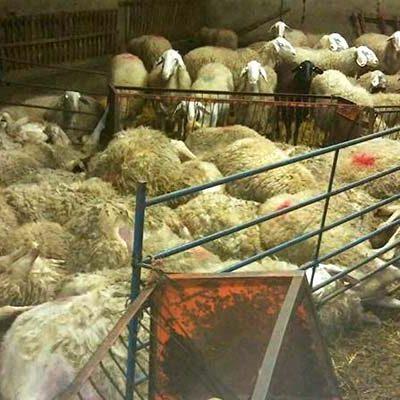 UCCL denuncia el robo de lechazos enexplotaciones de ovino de Montemayor de Pililla, Viloria y La Parrilla