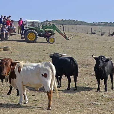 Peñistas, vecinos y colectivos visitaron el ganado de los encierros en las fincas de Pedro Caminero y José Mayoral