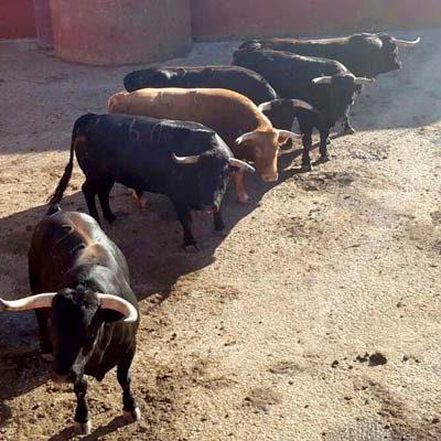 El Ayuntamiento facilitará a peñas y asociaciones taurinas y de caballistas la visita al ganado de los encierros