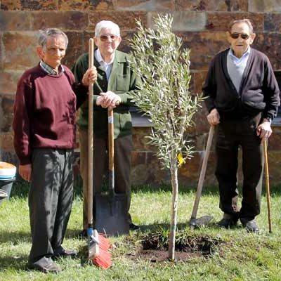 Los mayores adelantan la celebración del Día del Árbol plantando un olivo