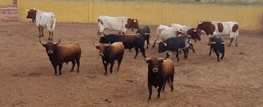Los novillos de Brazuelas y las reses de Lagunajanda se encuentran ya en la finca de Pepe Mayoral