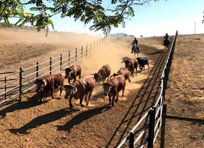 El nuevo Equipo de Gobierno recupera los toros para el encierro del domingo 25 de agosto