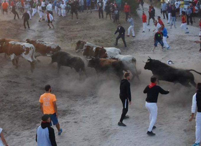 Un herido por asta de toro en el primer encierro del ciclo cuellarano