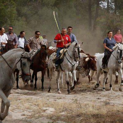 Suelta de bueyes con la Asociación Amigos del Caballo en el Día del Pilar