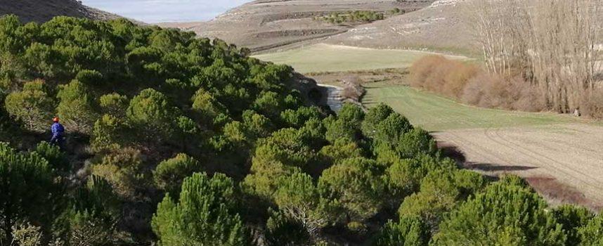 Tres entidades se unen para proteger y conservar un bosque de pinos autóctonos de Aldeasoña