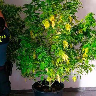 La Guardia Civil incauta cuatro plantas de cannabis en una nave industrial de Cuéllar y 22 más en viviendas de la zona