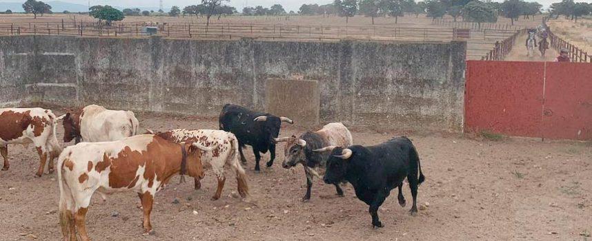 Cuéllar se prepara para un fin de semana con dos ganaderías legendarias como protagonistas